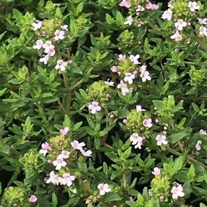 Thyme -Vulgaris :) 250+ Seeds Herb Cooking. Instructions Inc. Combined Postage x