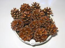 Pine Cones 175 Fresh 1.5� - 2� Crafts Wreaths Hobby Crafting Holiday Decoration