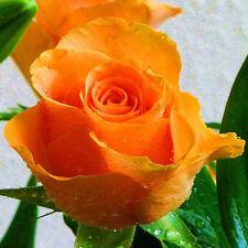20+ ORANGE ROSE BUSH Seeds    Beautiful ,  VERY FRAGRANT   USA SELLER SHIPS FREE