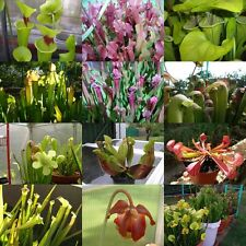 +30 graines seeds Sarracenia mélangées mixed plante carnivore carnivorous plant