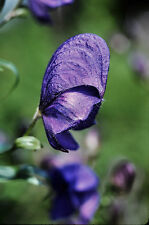 25 semillas azul Matalobos-Aconitum napellus (sturmhut)