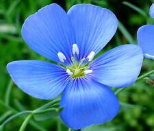 FLAX BLUE ANNUAL ORGANIC Linum Usitatissimum - 10,000 Bulk Seeds