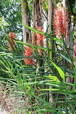 Hedychium Slim's Orange -  1 plant en godet - Rustique , Floraison précoce