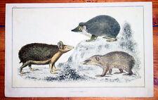 1830 Goldschmied Antik Print von Igel swathy & bewaffneten tendrae, lange Schmuckschildkröte