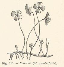 B2823 Marsilea quadrifolia - Xilografia d'epoca - 1928 old engraving