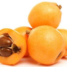 Biwa/Tropical LOQUAT JAPANESE PLUM Fruit Tree 10 Seeds Free shipping from Japan