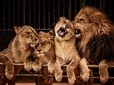 Four Lions Animal High Quality Canvas Home Art Decor Prints Unframed Kids Gift
