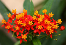 80 graines Asclépiade de Curaçao (Asclepias Curassavica)G275 BLOOD FLOWER SEEDS