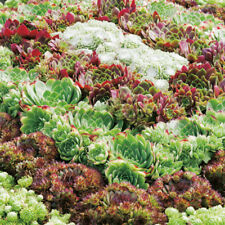 Sempervivum - Species Mixed - 200 Seeds