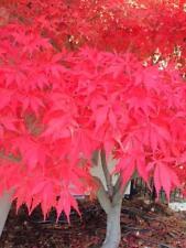 50 seeds-Japanese Maple-Acer palmatum-Fireglow-Bonsai- Free Shipping