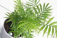 8 Graines -  Palmier nain de Salon  CHAMAEDOREA ELEGANS - Samen Seeds