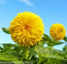 Teddy Bear - 150 Graines naine Jaune Tournesol-Helianthus annuus