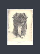 Rare Pekingese Dog Art Print 1935 Drawing by Malcolm Nicholson Beautiful Eyes!