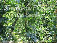 🔥 Bohne superlange 50 cm lange Bohnen  20 frische Samen grüne Bohnen fadenfrei
