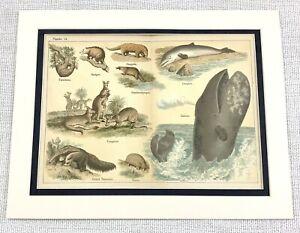 1879 Antique Print Animals Kangaroo Dolphins Pangolin Blue Whale Zoology Art