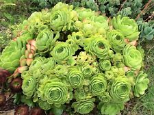 "3 giant green aeonium succulent cuttings / rosettes with 9"" diameter, no roots"