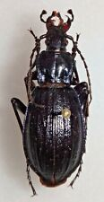 Carabidae Carabus Chrysocarabus solieri France #W84 Carabid Beetle Insect