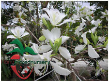 10 White Orchid Tree Seeds