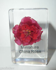 China Rose Flower Rosa chinensis in clear Block Education Plant Specimen