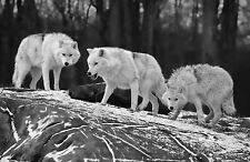 Framed Print - Black & White Wolves Looking Sinister (Picture Wild Animals Art)