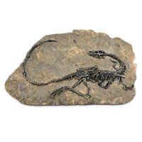 1pc Tyrannosaurus Rex Dinosaur Fossil Jurassic Cretaceous 130 Million Years Old