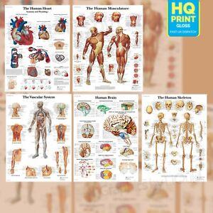 HUMAN ANATOMY MEDICAL ANATOMICAL EDUCATIONAL POSTER PRINTS | A4 A3 A2 A1 |