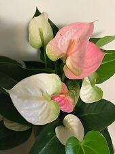 "New listing Anthurium ""Pandola"" - Large Well Established Plant in 6"" Pot - Gorgeous!"