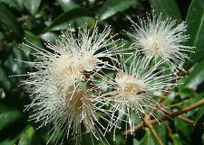 Lilly PIlly Syzygium smithii, evergreen flowering fruit shrub, rare, exotic
