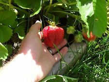 10 Sweet Bounty Strawberry Zone4-8 Live Plants Chocolate.Large berry.Not Dormant
