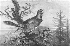 PIE GRIÈCHE chantant au SOMMET d'un ARBRE - Planche du 19eme siècle
