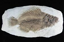Fisch Fossil Versteinerung Imitat Wandbehang