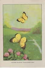 "1917 Vintage BUTTERFLY ""CLOUDED SULPHUR"" A LOVELY COLOR ART PLATE Lithograph"