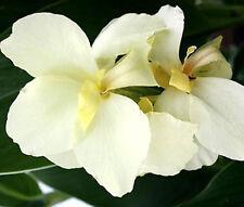 CANNA WHITE Canna x Generalis - 50 Bulk Seeds