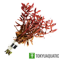 Ammannia Gracilis Red Freshwater Live Aquarium Plants Decoration Fish Tank Pink
