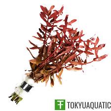 Ammannia Gracilis Red Freshwater Live Aquarium Plants Decoration Fish Tank Pink