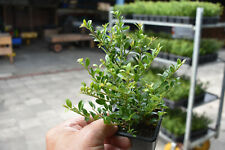 50 Hedge Plants,Ilex Crenata Stokes 10/15cm in 8x8cmTopf (Plant Boxwood