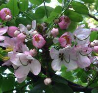 Ein wunderschöner Zierbaum: die Zwergapfelblüte - auch Bonsai-geeignet !