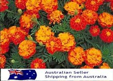 ORGANIC MARIGOLD SEEDS  - 100 Seeds - French Marigolds FREE POSTAGE!