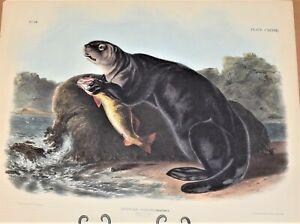 Antique Print Colored Lithograph 1848 Sea Otter John Woodhouse Audubon