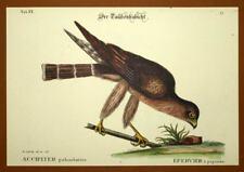 Gravure Ornithologie Oiseau RAPACE EPERVIER