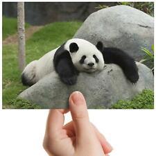 "Lazy Panda Bear - Small Photograph 6"" x 4"" Art Print Photo Wildlife Gift #8307"