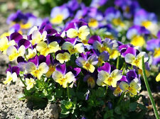 VIOLA Heartsease 100+ seeds johnny jump up flower garden EDIBLE cottage pansy
