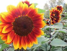 ☺40 graines de tournesols originaux beauté d automne en mélange