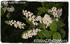 "Prunus padus ""oiseau Cherry"" [EX. Co. Durham] Arbre 20 Graines Bonsai"