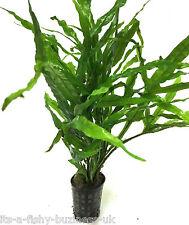 Java Fern Trident  Microsorum Pteropus Pot tropical Live Plant Moss co2