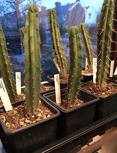 T. Bridgesii (E. Bridgesii) Bolivian Torch Cactus Seeds x20