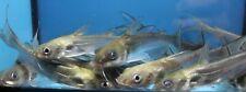 "2.5"" - 5""Live Channel Catfish Cat Fish GUARANTEE ALIVE"
