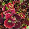 Rainbow Mix Coleus Bonsai 15 Kinds Flowers Grass Garden Tree NEW X 100 Pcs Seeds