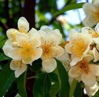 Schima Superba UNIQUE EVERGREEN TREE - 10 Seeds