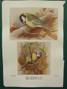 VINTAGE BIRD PRINT ~ GREAT TITMOUSE ~ BLUE TITMOUSE TIT